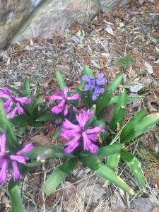 hyacinth I think